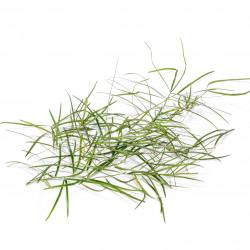 Hathawariya Bundle (Wild Asparagus)